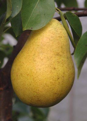 Плод груши Чижовская
