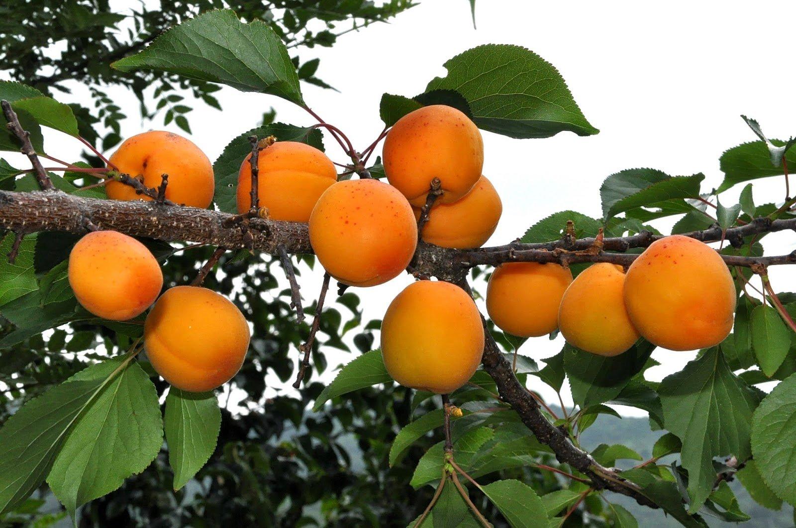 Как плодоносит абрикос в подмосковье