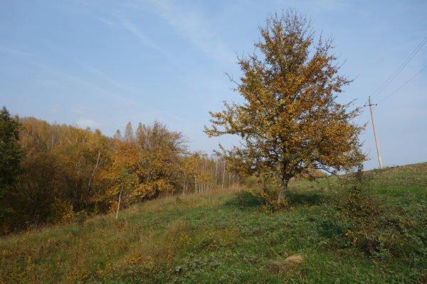Груша на склоне