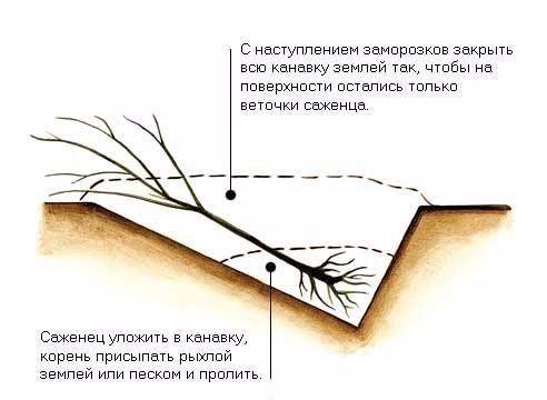 Схема прикопки саженца