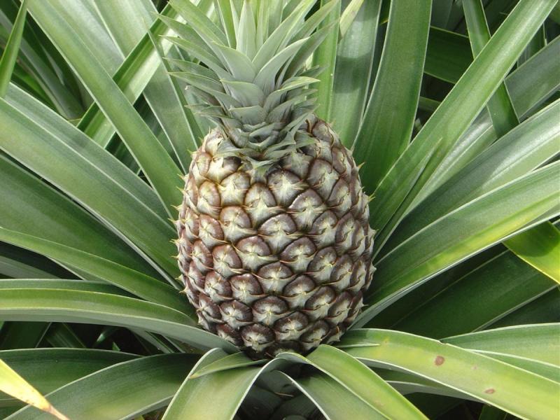 Высаживание пророщенного ананаса в горшок
