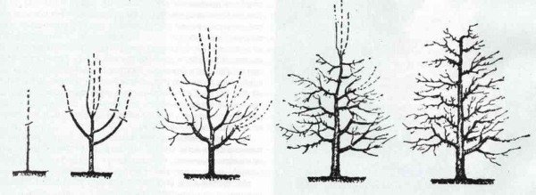 Схема обрезки груши