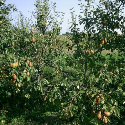 Дерево груши Талгарская красавица
