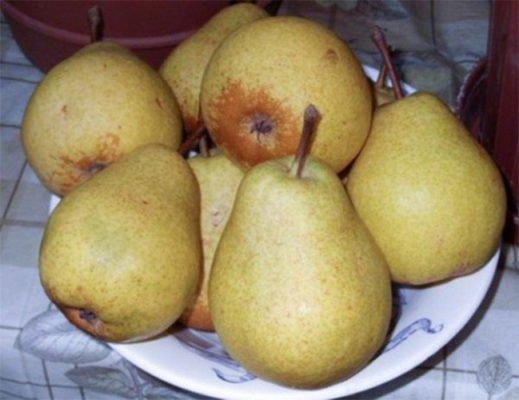Плоды груши Белорусская поздняя