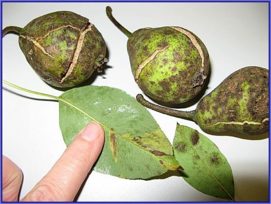 Парша на листьях и плодах груши