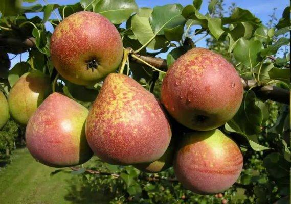 Плоды груши Мраморная на ветке