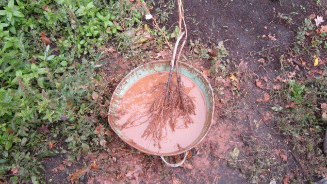 Замачивание корней саженца