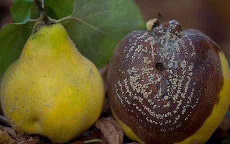 Плодовая гниль на груше
