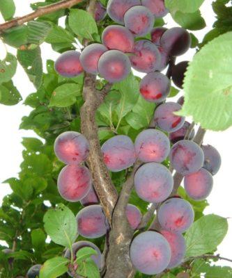 Плоды алычи Колонновидная