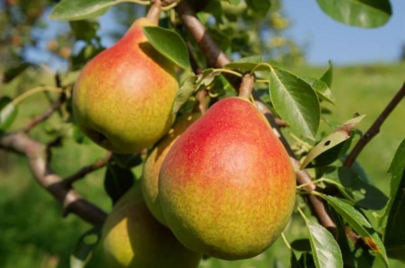 Высаживаем и растим идеальную грушу Дюшес