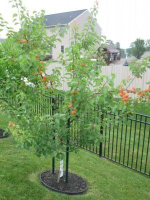 Дерево абрикоса у забора