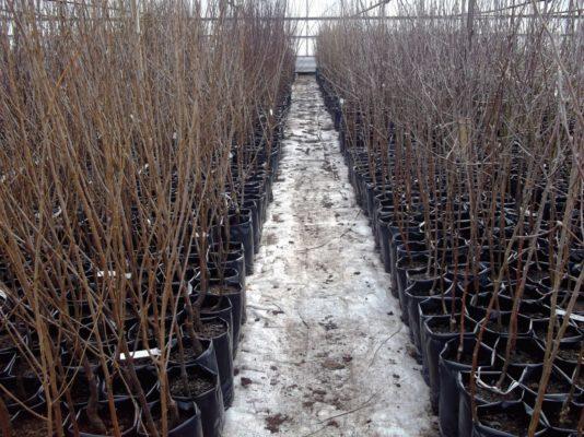 Саженцы с закрытыми корнями