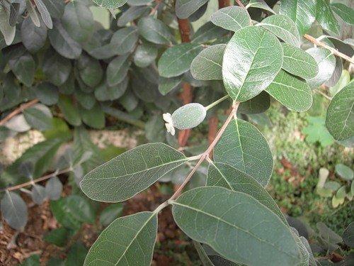 Листья фейхоа