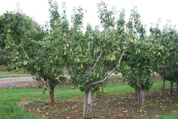 Несколько грушевых деревьев