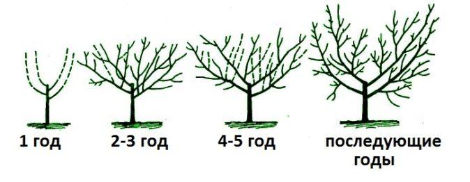 Схема формировки кроны груши по типу чаши