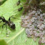 Тля и муравей на листке