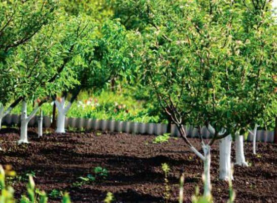 Ряды грушевых деревьев
