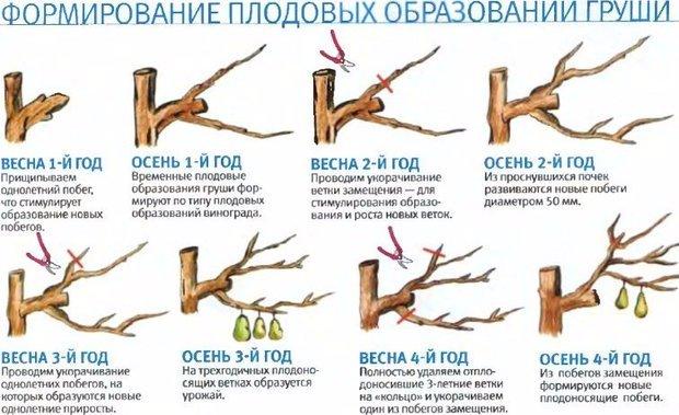 Схема формирования плодовых образований груши