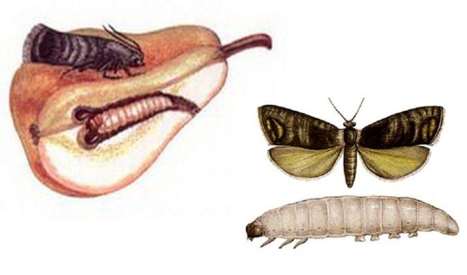 Рисунок плодожорки и её гусеницы
