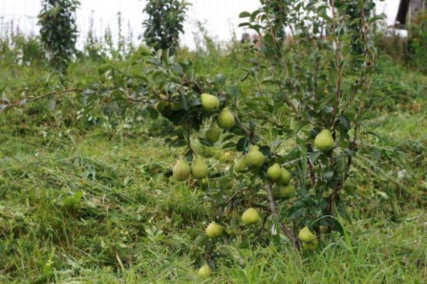 Дерево груши Августовская роса