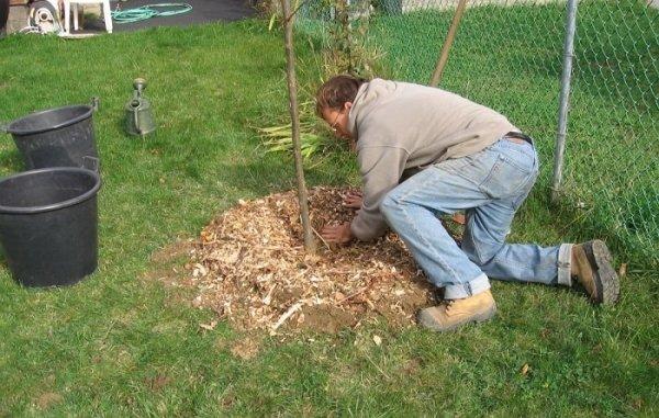 Мульчирование деревца