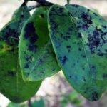 Сажистый грибок на листьях груши