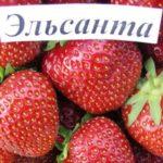 Сорт клубники Эльсанта