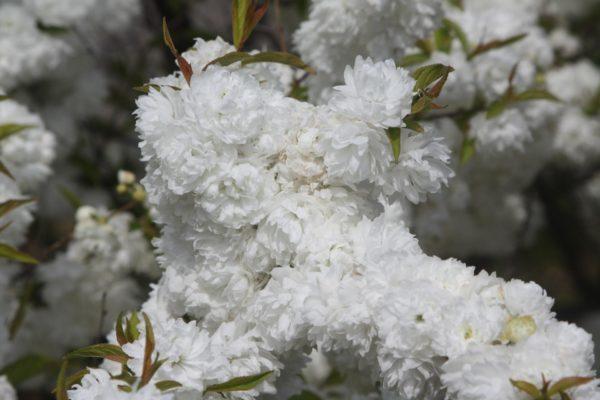 Вишня железистая (Cerasus glandulosa)
