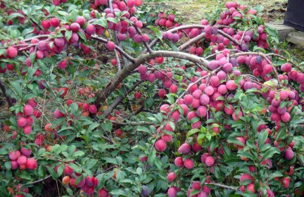 Дерево алычи с плодами