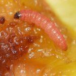 Гусеница плодожорки