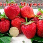 Сорт клубники Мармелада