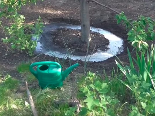 В процессе полива вишни или черешни