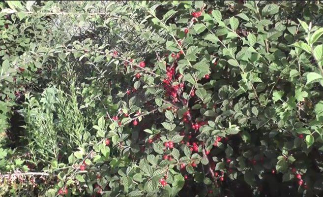 Плодношение войлочной вишни
