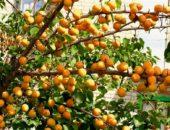 Прививки абрикоса