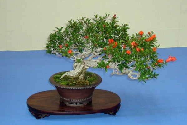 Гранатовый бонсай