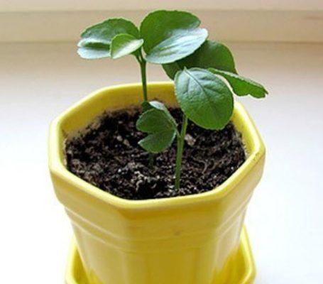 Выращивание граната из зёрен