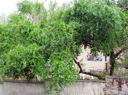 Дерево унаби