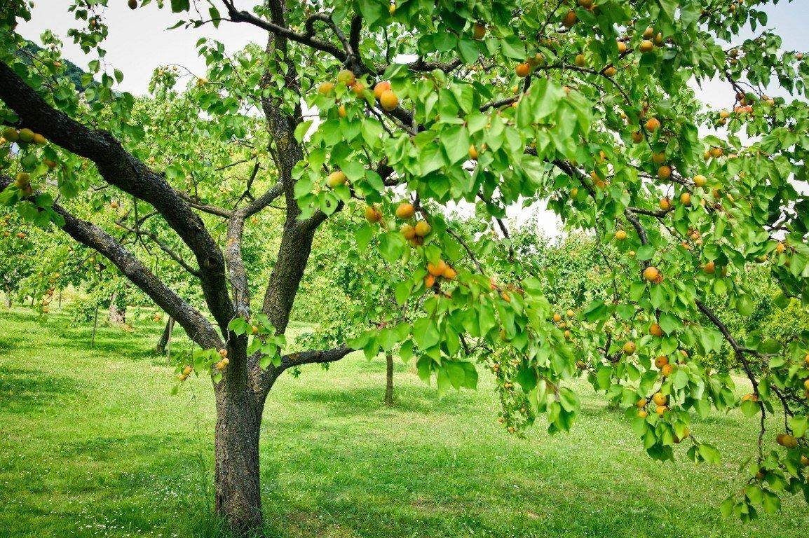 Обрезка абрикоса весной летом и осенью схема как правильно когда лучше