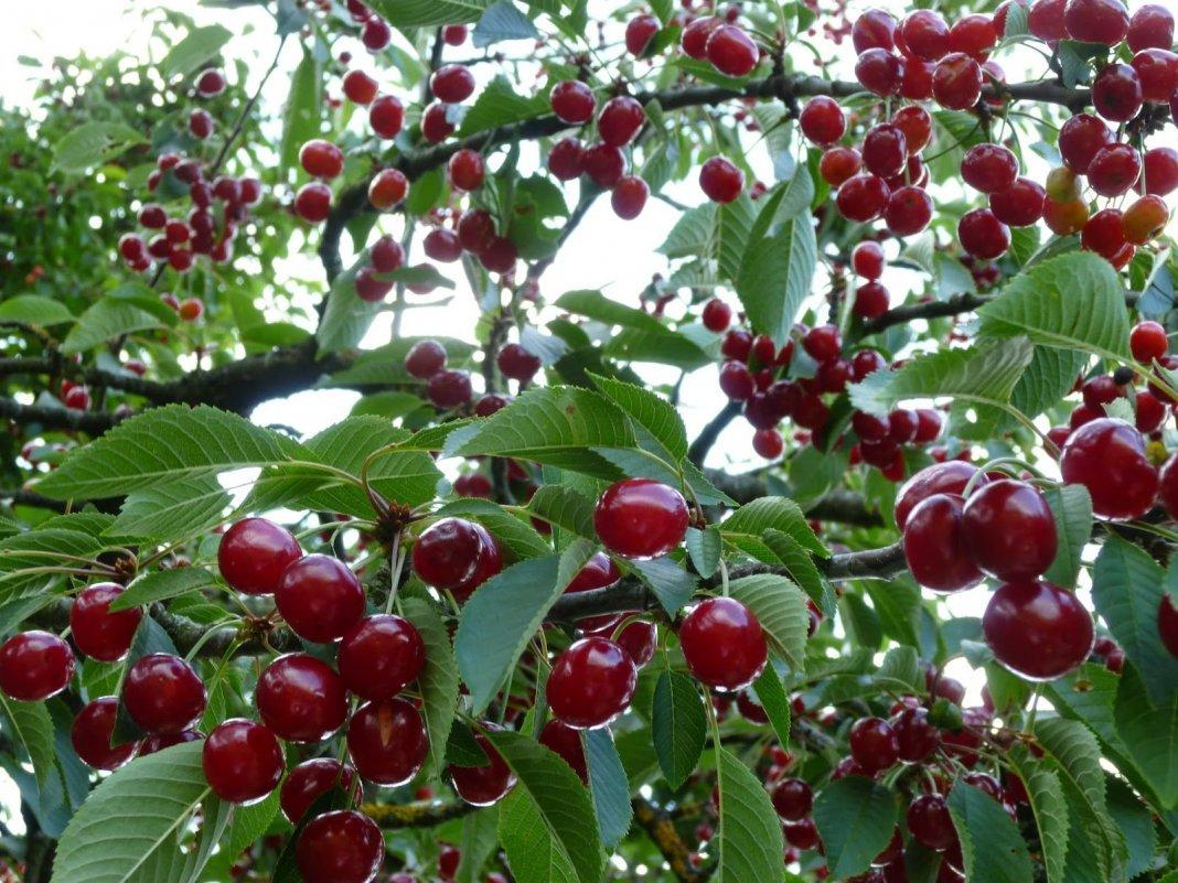 Новый сорт вишни Молодежная подробное описание