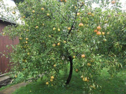 Дерево груши с плодами