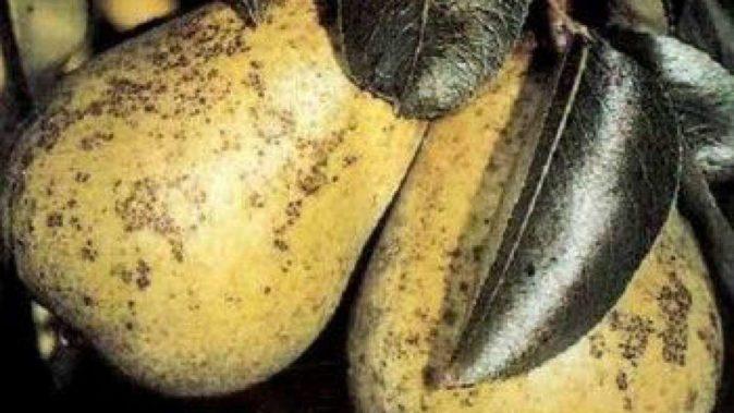 Сажистый грибок груши