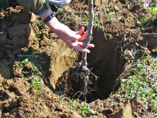Предварительная примерка корневой системы саженца