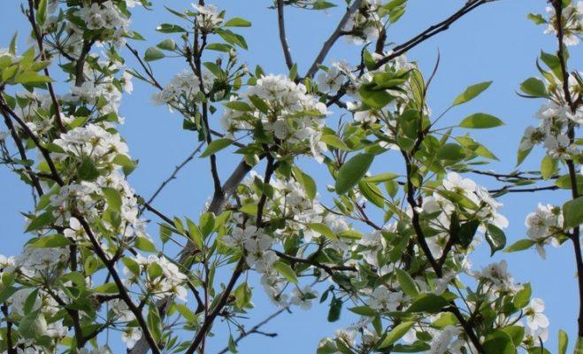Цветение груши Лесная красавица