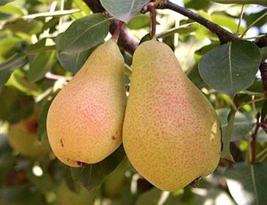 Зрелые плоды лесной красавицы