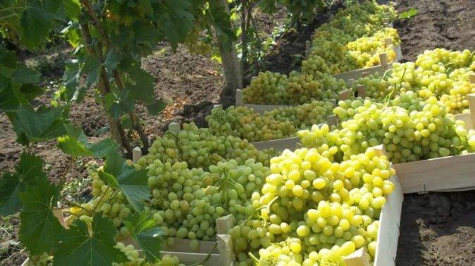 Урожай винограда Аркадия