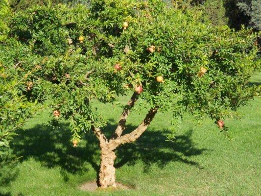 Дерево граната в Крыму