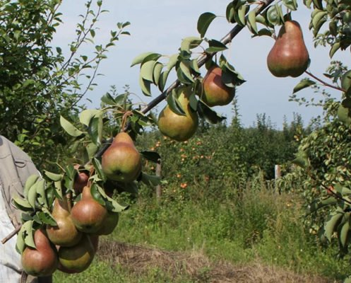 Ветка с плодами груши Брянская красавица