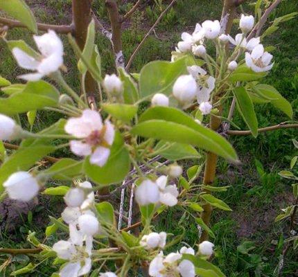 Цветущая груша сорта Брянская красавица