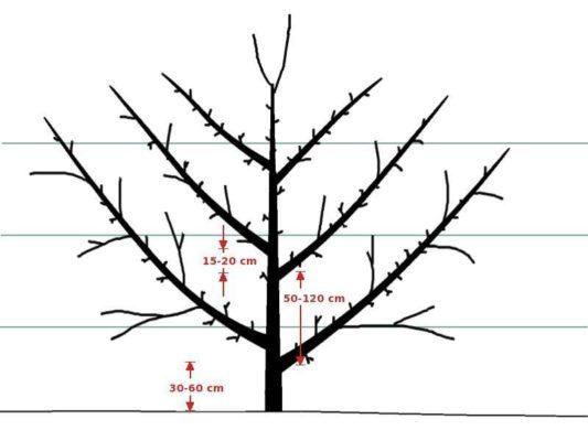 Схема формировки пальметты