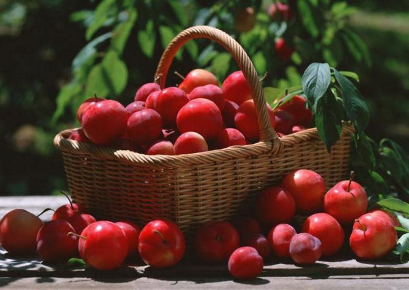 Красная слива: описание сортов, вкусовые качества и пищевая ценность